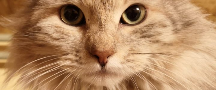 46 Kuriļu bobteili – kaķi ar suņa dvēseli – beidzot gatavi sastapt savu Cilvēku un sākot ar 18.maiju (sestdienu) doties Mājās no 9 mēnešu patvēruma, ko sniedzām viņiem Ulubelē.