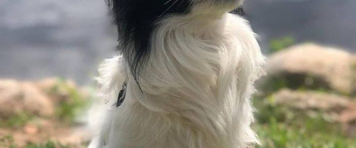 Čiko – laimīga suņa dzīve Instagram konts @ciiko.p